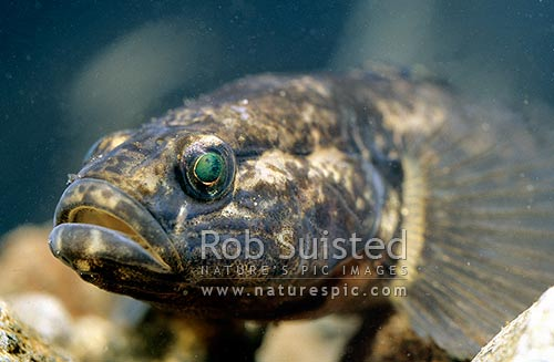 Redfin bully (Gobiomorphus huttoni), an endemic native freshwater fish 