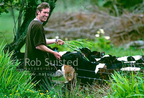 Hand feeding young dairy calves, Westland, Westland District, West Coast Region, New Zealand (NZ) stock photo.