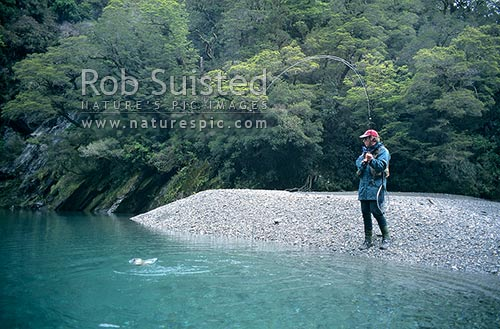 Fisherman playing a 5 1/2lb brown trout in 'Tomtit grotto' - (model released), South Westland, Westland District, New Zealand (NZ) stock photo.
