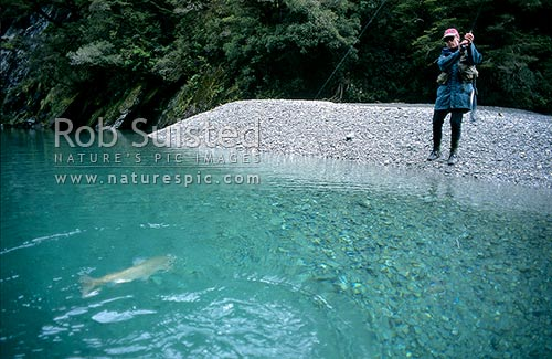 Playing a 5 1/2lb brown trout in 'Tomtit grotto', Mount Aspiring National Park, Westland District, West Coast Region, New Zealand (NZ) stock photo.