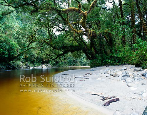 Beech trees overhanging the tannin stained Oparara River, Karamea, Buller District, West Coast Region, New Zealand (NZ) stock photo.