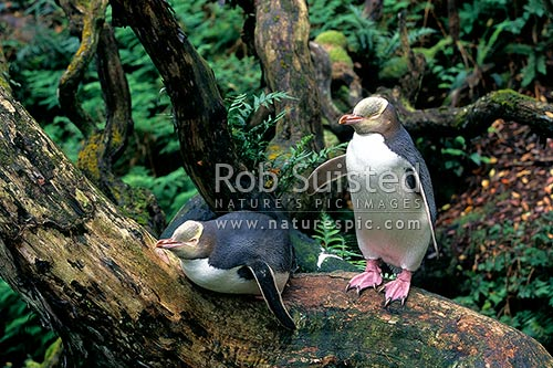 Yellow-eyed penguins (Megadyptes antipodes) in Rata Forest, Enderby Island, Enderby Island, Auckland Islands, NZ Sub Antarctic District, NZ Sub Antarctic Region, New Zealand (NZ) stock photo.