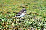 Auckland Is banded dotterel