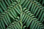 Tree fern fronds