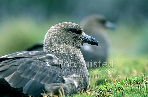 Southern skua (Catharacta lonnbergi), Enderby Island, Auckland Islands, NZ Sub Antarctic District, NZ Sub Antarctic Region, New Zealand (NZ) stock photo.